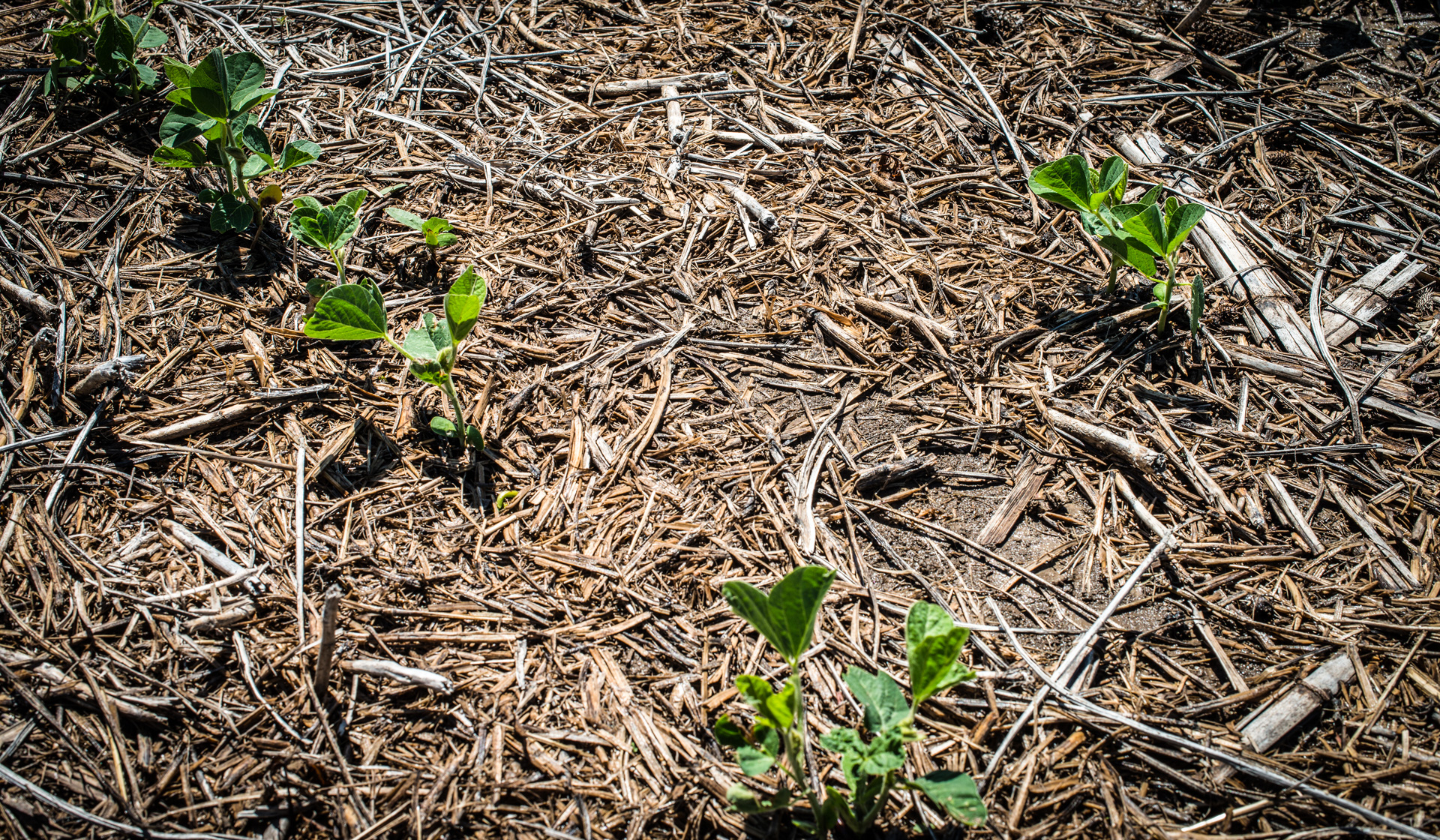 Soybeans emerging in field residue. PHOTO: Soil Health Partnership