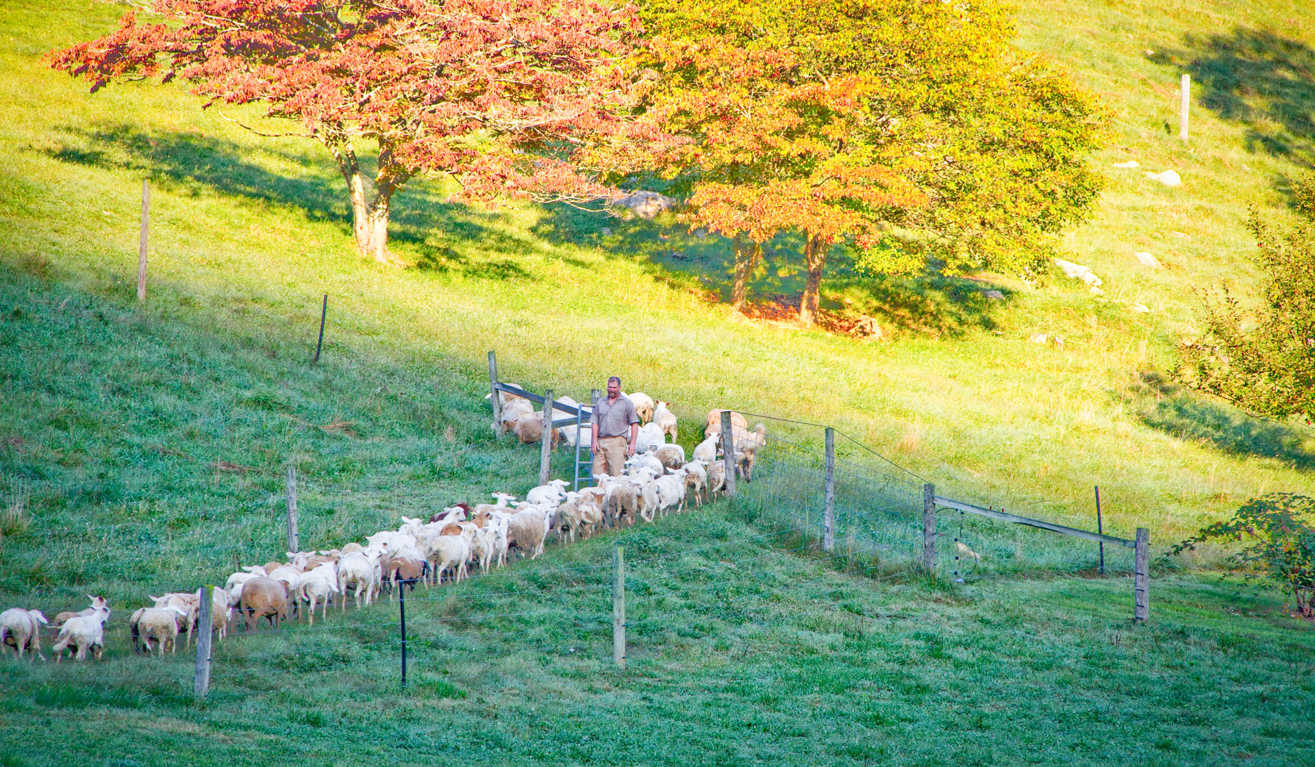 Move a large herd into a paddock for a short time to flash-graze.