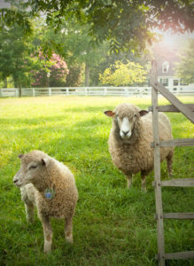 These Leicester Longwools are ready for their close-up. The antique animals are center stage at Colonial Williamsburg.