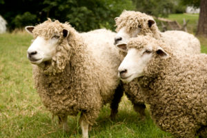 Wooly heads and legs make Leicester Longwools a pain to shear, but that abundance of wool—along with their fattening ability and rapid growth—made them good for Colonists. The breed died out in North America in the 1920s; CW had to import its initial herd from Tasmania in 1990.