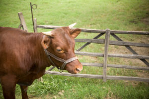 The Rare Breeds program started with the American Milking Red Devon Cattle, and these may still be the rarest animals in the program. CW maintains a small herd; their rich red coat and black-tipped horns make them popular with the visitors and distinctive from modern breeds.