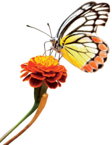 Monarch Butterfly visits a marigold.