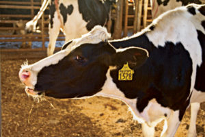 Do milk cows have the most nutrient-rich manure?