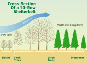 Click for a closer look at a shelterbelt.