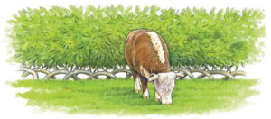 A living hedge, strong enough for livestock.