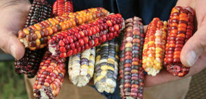 """12 Ears Indian Corn ~ Mini ~ 4"""" to 6"""" ~ Assorted Colors"""