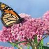 A monarch on milkweed.