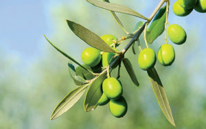 Liquid Gold: Growing Olives in the Sunshine State