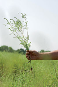 Ragweed on the Sneed farm.