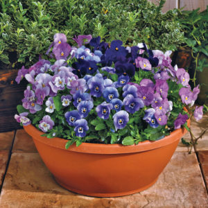 Admire® Blackberry Mix violas