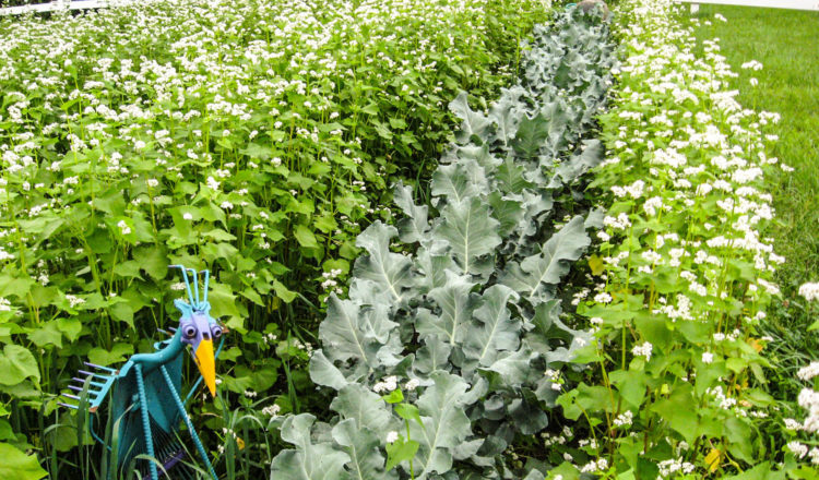 Cover crops being grown in a garden.