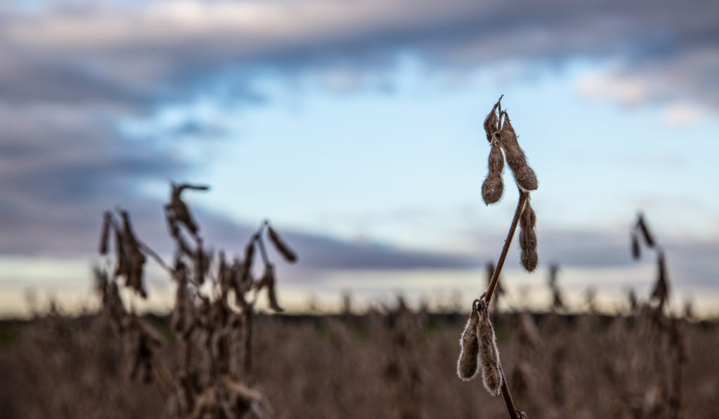 Picture of a soybean plant on a farm.