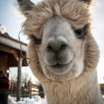 An alpaca ready for its close-up.
