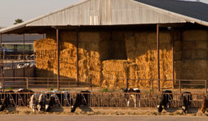 Bales of hay for feeding cows sits stacked in a storage area.
