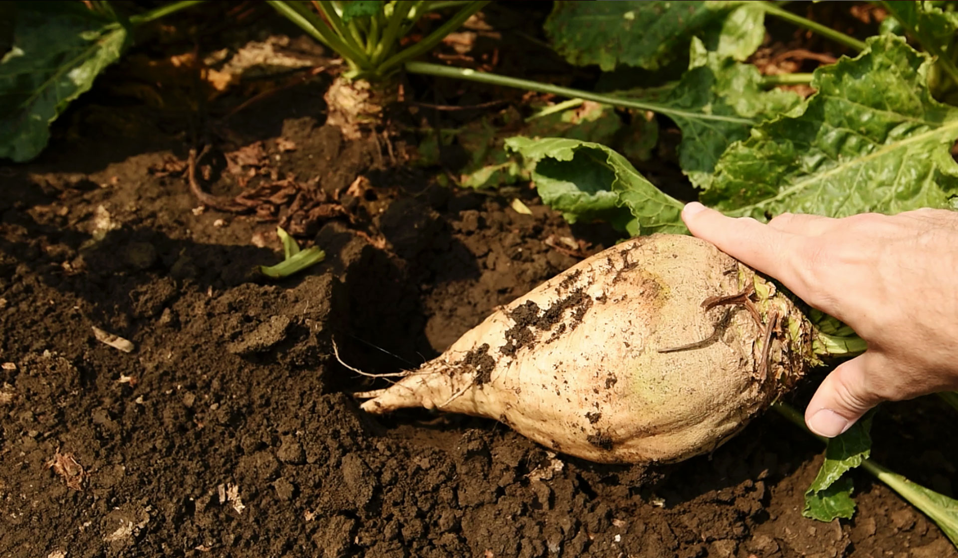 Sugar Beet Farms Improve Yield And Quality Myfarmlifecom