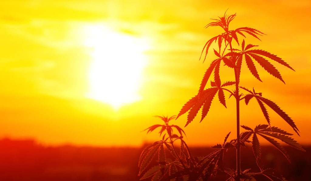 Hemp. Photo: ©iStockPhoto.com/Aleksandr_Kravtsov