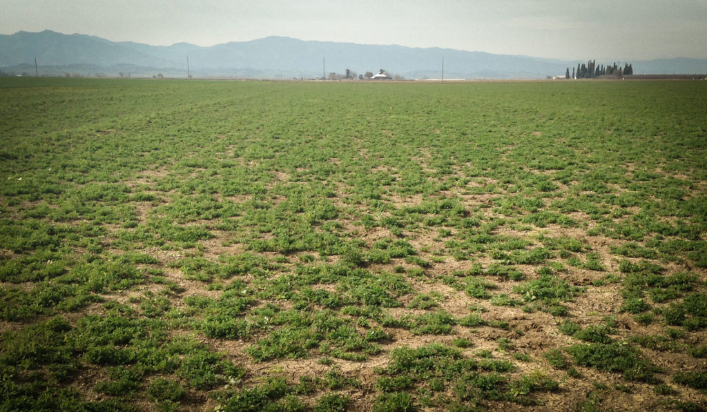 Above: An older stand of alfalfa begins to thin and is in need of being rotated out.